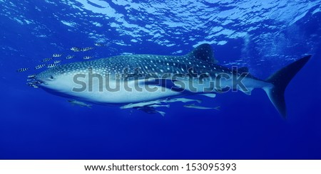 Whale shark (Rhinocodon typus) - stock photo