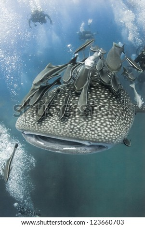 Whale shark swimming under water in the ocean near the island of Koh Tao in the Gulf of Thailand with scuba divers around. - stock photo