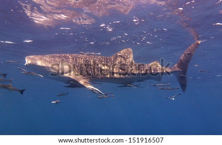 whale shark swims near the surface - stock photo
