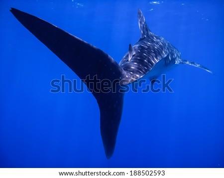 Whale shark tail fin close encounter - stock photo