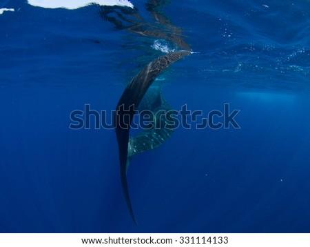 Whale Shark Tail, Isla Mujeres Mexico - stock photo