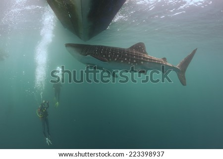 Whale Shark underwater approaching a scuba diver under a boat in the deep blue sea - stock photo
