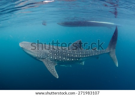 Whale Shark underwater with big open mouth jaws ready to move to a photographer scuba diver - stock photo
