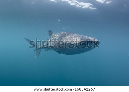 Whale Shark underwater with big open mouth jaws while coming to you - stock photo