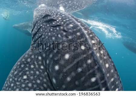 Whale Shark very near looking at you underwater in Papua - stock photo