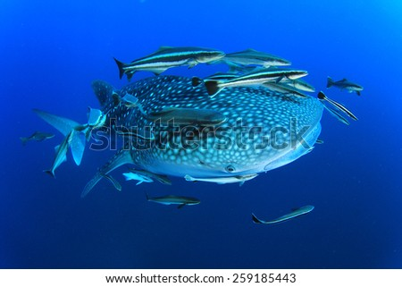 Whale Shark with Remora and Cobia fish - stock photo