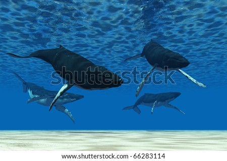 Whale Swim - A group of Humpback whales swim in ocean shallows. - stock photo