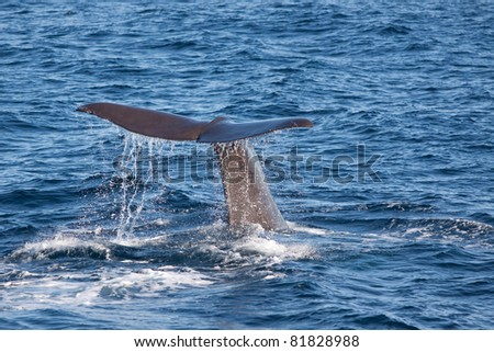 whale tail slapping the waters of Norway - stock photo