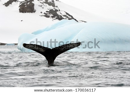 Whale tale at the Antarctica - stock photo