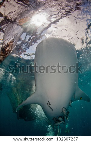 whales shark approaching boat - stock photo