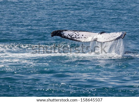 Whales stay for a while in Hervey Bay - stock photo