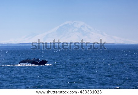 Whales with Mt Rainier in the background - stock photo
