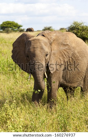 What Are You Looking At?  Large Elephant In The Wild - stock photo