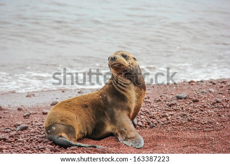 What's up?  Curious sea lion on the coral beach at rabida Island, Galapagos, Ecuador - stock photo
