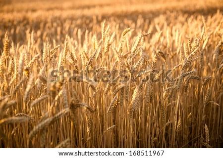 wheat - stock photo