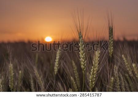 Wheat at sunset - stock photo