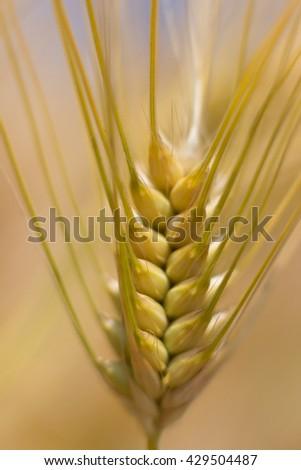 Wheat, Barley Close up, selective focus - stock photo