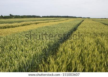 wheat barley field - stock photo
