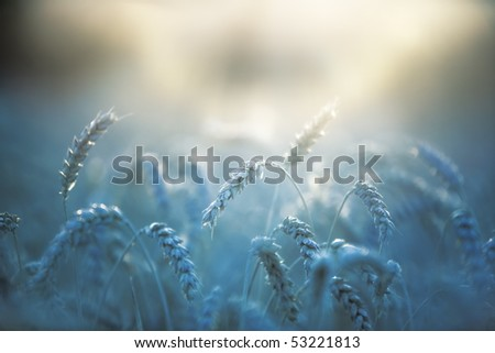 Wheat close-up. Soft blue tint for nighttime effect. - stock photo