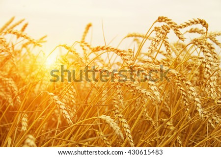 Wheat closeup. Wheat field on sun. Harvest and food concept - stock photo