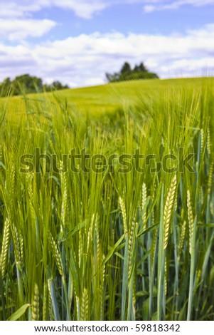 Wheat corns on a fresh wheat field - stock photo