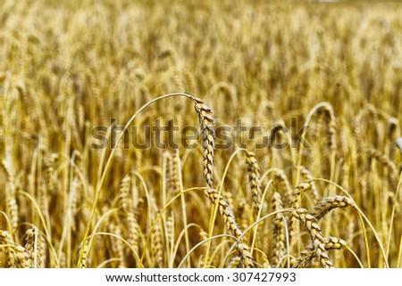 wheat crops plant endless - stock photo