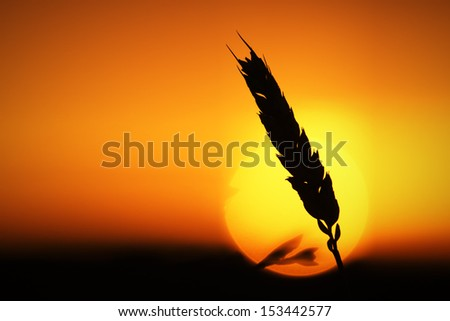 Wheat ear in sunlight  - stock photo