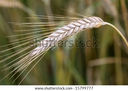 wheat ear with shallow depth of field background - stock photo