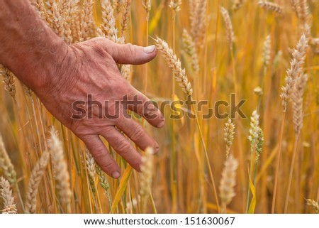 Wheat ears and hand, harvest concept, agriculture nature photo - stock photo