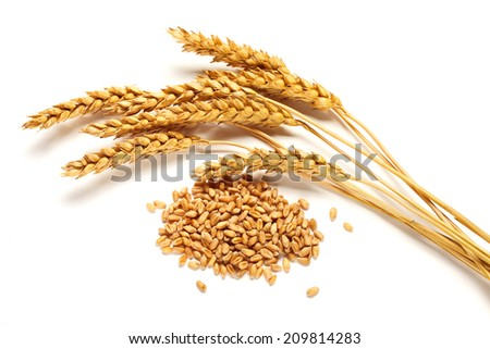 Wheat ears and seed isolated on white background - stock photo
