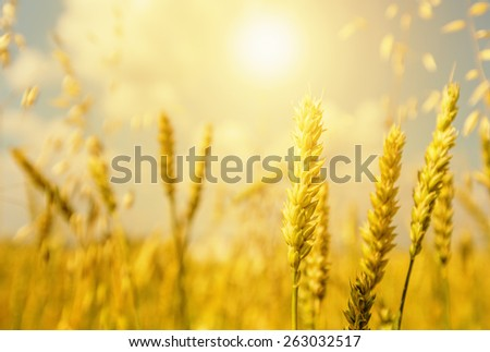 Wheat ears beneath shining and blue cloudy sky - stock photo