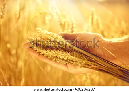 Wheat ears in man's hands. Harvest, harvesting concept, Young farmer in field touching his wheat ears. Crop protection. Cultivated agricultural wheat field. Sun light, backlit  - stock photo