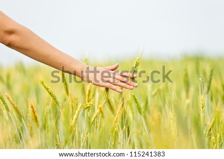 Wheat ears in the hand.Harvest - stock photo
