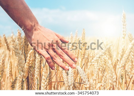 Wheat ears in the hand. Harvest concept - stock photo