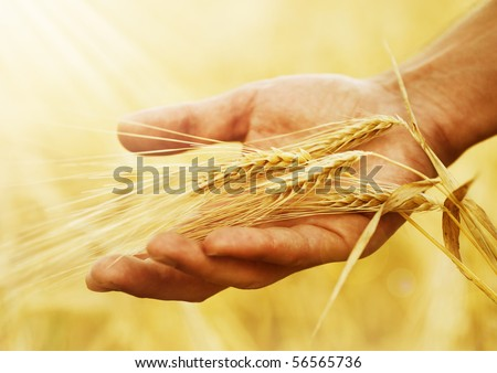Wheat ears in the hand.Harvest concept - stock photo