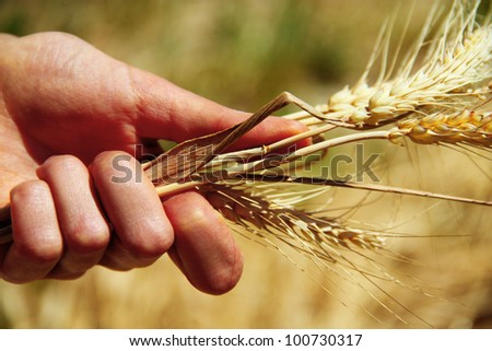 Wheat ears in the hands - stock photo