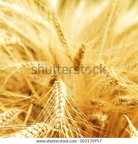 wheat / ears of corn / macro - stock photo