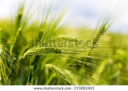 Wheat ears of the arable land. - stock photo