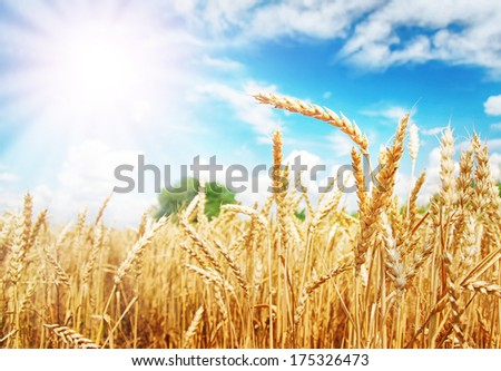 Wheat ears under the sun. Summer day. - stock photo