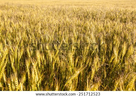 Wheat field, a background of wheat spikes - stock photo