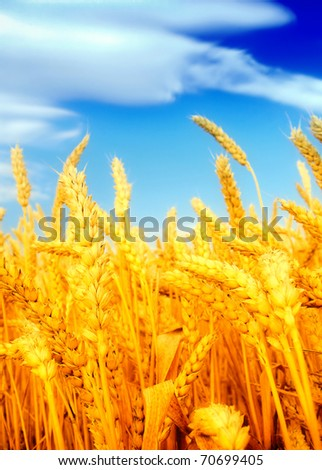 Wheat field against a blue sky - stock photo