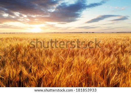 Wheat field - agriculture farm, industry - stock photo