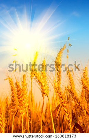 Wheat field and blue sky with sun - stock photo