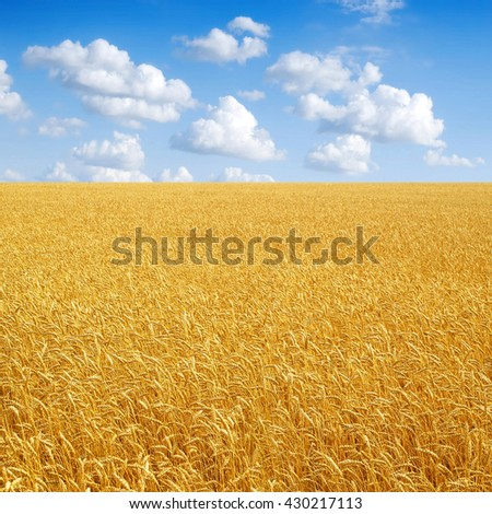 Wheat field and cloudy sky. - stock photo