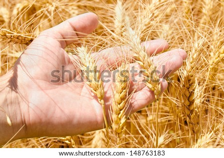 Wheat field and male hand holding cone in summer day - stock photo