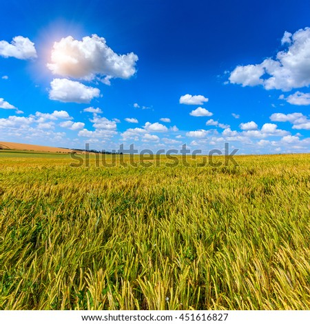 Wheat field and perfect blue sky background. A fresh crop of rye.  Rich harvest Concept. majestic rural landscape field green wheat  under shining sunlight.  creative picture of nature. - stock photo