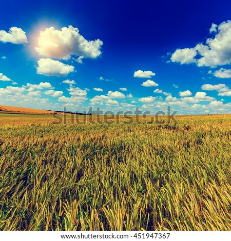 Wheat field and perfect blue sky background. A fresh crop of rye.  Rich harvest Concept. majestic rural landscape field green wheat  under shining sunlight.  instagram toning effect - stock photo