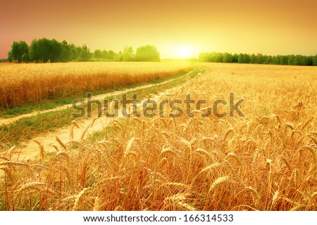 Wheat field and sunset. - stock photo