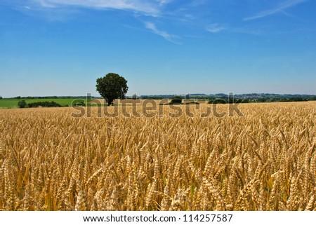 wheat field and tree - stock photo