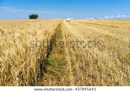wheat field at harvesting - stock photo